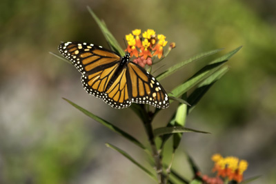 Photo of a monarch butterfly at Rose State College.